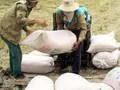 ĐBSCL: Lúa Đông Xuân trúng giá, nông dân chịu thiệt chứ không bội tín