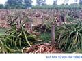Nhà vườn ồ ạt trồng cây thanh long ruột đỏ theo phong trào