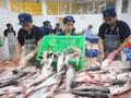 Xuất khẩu cá tra sang các thị trường lớn đều tăng mạnh