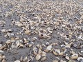 Thanh Hóa: Gần 100 tấn ngao bỗng dưng chết trắng bãi biển
