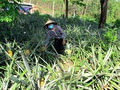 Nỗi buồn người trồng dứa ở Tam Đảo