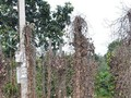 Hàng trăm ha tiêu ở Phú Yên bị bệnh chết nhanh, chết chậm