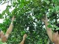 Người trồng chanh ở Nam Đàn lao đao vì giá rớt thảm