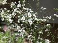 Sau đào đông và mai Mỹ, người Việt sắm hoa anh đào, tuyết mai bạc triệu chơi Tết
