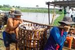 Thương lái Trung Quốc tung chiêu, nông dân lãnh đủ