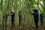 Vì sao DN phản ứng Bộ Công thương cho nhập 200.000 tấn đường?