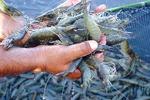 Sau thiếu hụt tôm, doanh nghiệp có thể đối mặt thiếu hụt cá tra xuất khẩu