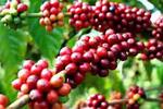 Nhu cầu cao kỷ lục kéo dự trữ cà phê toàn cầu xuống sâu
