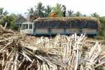 Thời tiết thất thường, người trồng mía thiệt hại nặng
