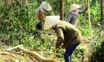 Thị trường dăm gỗ ấm lại, giá gỗ rừng trồng đang tăng