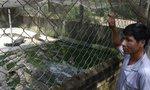 Cá sấu từ 200 ngàn xuống 60 ngàn/kg, người nuôi đổ nợ