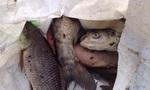 Cá chết trên hồ Linh Đàm đã được thu gom để mang đi xử lý