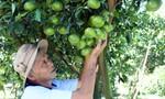Lo mất mùa trái cây Tết vì thời tiết thất thường