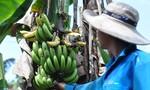 3 ngày, 'giải cứu' 20 tấn chuối cho nông dân Đồng Nai