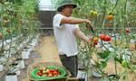 'Cà chua sạch' siêu trái ở Tây Nguyên