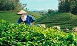 Vì sao Việt Nam chưa là nước xuất khẩu chè hàng đầu?