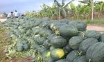Bộ Công Thương khuyên nông dân điều gì khi bán dưa sang Trung Quốc?