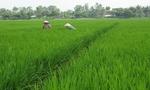 Bị thương lái trong nước ép giá, nông dân chuyển sang trồng lúa cho Nhật kiếm lời