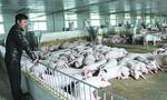 """Từ bỏ mức lương """"nghìn đô """" về quê nuôi lợn với giấc mơ tỷ phú"""