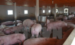 Loại bỏ kháng sinh kích thích sinh trưởng trong thức ăn chăn nuôi
