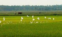 Hỗ trợ 1 triệu đồng/ha/năm cho đất chuyên trồng lúa