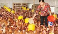 Tham gia TPP: 60% dân số sống bằng nghề chăn nuôi sẽ bị tổn thương