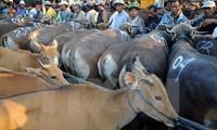 Việt Nam là thị trường xuất khẩu gia súc lớn thứ hai của Australia