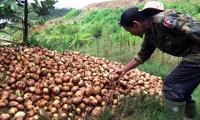 Hành tây Đà Lạt tăng giá đến gần 45.000 đồng/kg