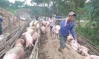 Xuất khẩu lợn mỡ sang Trung Quốc, lợi trước mắt, hại dài lâu