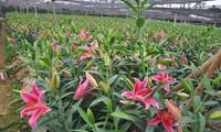 Hà Nội: Hoa ly nở sớm trước Tết, giá rớt thảm