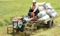 Lúa thu đông sớm thắng lợi, nông dân có lãi