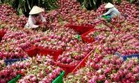 Mánh hiểm lái buôn Tàu: Thương lái Việt hại nông dân Việt