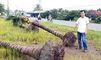 Chuyện lạ ở Tiền Giang: Thương lái mua dừa bứng nguyên cả gốc