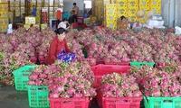 Bình Thuận quy hoạch phát triển thanh long bền vững