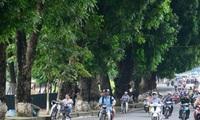 Hà Nội chính thức di chuyển 109 cây xanh trên đường Kim Mã