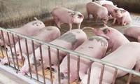 """""""Trị"""" chất cấm trong chăn nuôi: Lỗ hổng to trong quản lý"""