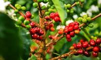 Giá cà phê robusta sẽ còn cao trong vài tháng tới do tồn trữ thấp