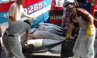 Trúng đậm cá ngừ trái vụ, ngư dân vượt gió vươn khơi