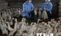 Iraq kéo dài lệnh cấm nhập gia cầm từ Việt Nam do cúm H5N1