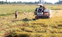 Nông dân mất tiền tỷ vì bán lúa sớm
