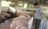 Bán lợn ồ ạt: 'Trung Quốc dừng mua là chết!'