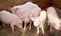 Trung Quốc tăng mua, giá lợn hơi tăng trở lại