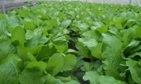 Thuốc bảo vệ thực vật sử dụng tràn lan trên các ruộng rau