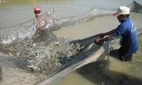 Ngành tôm Việt Nam: Nên thay đổi cách tiếp cận về con giống?