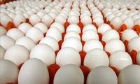 Chi phí xăng dầu chiếm chưa tới 10 đồng 1 quả trứng