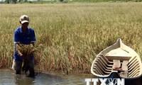 Hạn hán, xâm nhập mặn đe dọa vựa lúa Đồng bằng sông Cửu Long