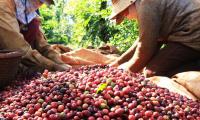 Việt Nam đứng thứ 3 thế giới về cung ứng cà phê, chè cho Nga
