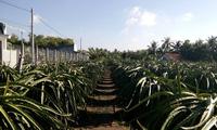 Thanh long trên đất nhiễm phèn cho thu nhập hơn 7 lần trồng lúa