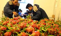 Đổ xô trồng thanh long ruột đỏ bán cho Trung Quốc?
