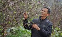 Đào phai nở sớm ở vùng trồng hoa lớn nhất xứ Thanh